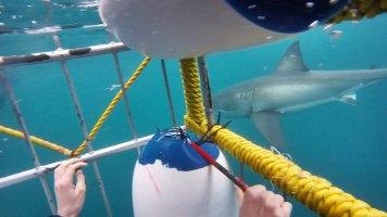 Tubarão nadando em volta da giola
